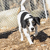 MAJOR (new beagle girl) 2