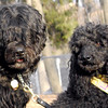 JET (miniture poodle).moby (portuguese water dog)