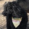 JET (miniture poodle)