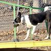 RAFFI (boston terrier) 2