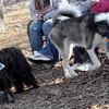 MAX (young husky) 2