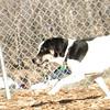 MAJOR (new beagle girl)