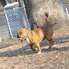CHIP (Staffordshire Bull Terrier)