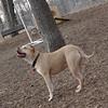 LUCY (pitbull)