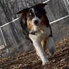 OLIVER (australian shepherd pup)