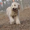 MOLLY (labradoodle pup)