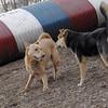 CHARLIE (dingo), Maddie ( stockdog) 2