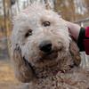 MOLLY (labradoodle pup) 2.