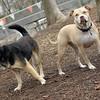 Lucy (pitbull), Maddie ( best friends) 3