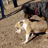 Rocco (bulldog), EUBIE (rottweiler pup)