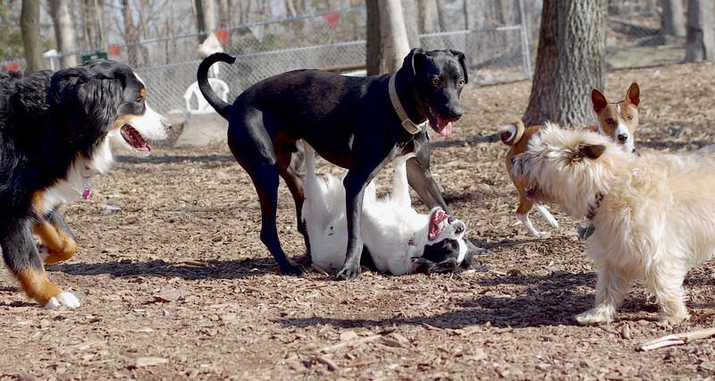 Gus Gus (japanese chin, beagle mix), Charlie (black)