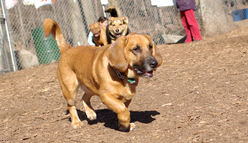 Bassett hound mix