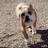 Rocco (bulldog) 2