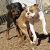 Rocco (bulldog), EUBIE (rottweiler pup) 3
