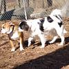 GUS GUS (japanese chin, beagle mix), Bulldog