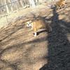 winston (bulldog)