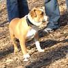 winston (bulldog) 2