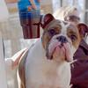 Rocco (bulldog)