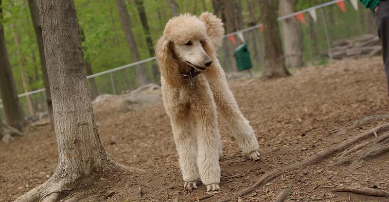 Bellini (apricot poodle) cousin lucy ethel 2