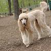 Bellini (apricot poodle) cousin lucy ethel 5