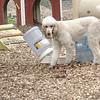 ETHEL (poodle) innovative 2