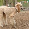 Bellini (apricot poodle) cousin lucy ethel