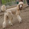 Bellini (apricot poodle) cousin lucy ethel 4
