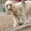 Bellini (apricot poodle) cousin lucy ethel 3