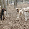 Ethel,  Lucy, Bellini ( siblings cousin poodles)
