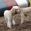 ETHEL & Bellini (poodle, cousins) 3