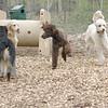 ETHEL & LUCY (poodle, siblings) 3