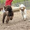 ETHEL & LUCY (poodle, siblings) 4