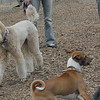 Bellini, Chloe, Lucy (pitbull