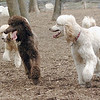 Ethel,  Lucy, Bellini ( siblings cousin poodles) 2