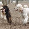 Ethel,  Lucy, Bellini ( siblings cousin poodles) 2