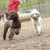 ETHEL & LUCY (poodle, siblings)