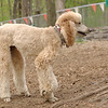 BELLINI (poodle new, apricot)