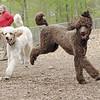 ETHEL & LUCY (poodle, siblings) 2