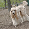 BELLINI poodle (new) ethel, lucy