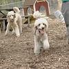 ETHEL & Bellini (poodle, cousins)