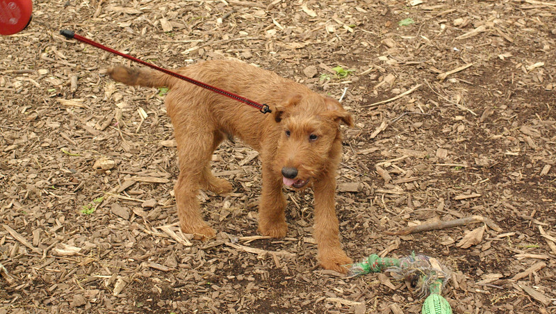 DUFFY (irish terrier puppy)