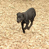 Dante (puppy, black) 14