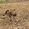 Dante (puppy), Foxi  4