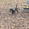 FAITH (patterdale terrier) 2