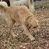 ATLAS (golden retriever) 3
