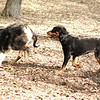 Jackie ( rottie puppy), OLIVER (FIX)