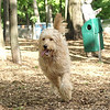 WALLY (goldendoodle boy)