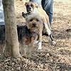 BAILEY (pup, yorkie)