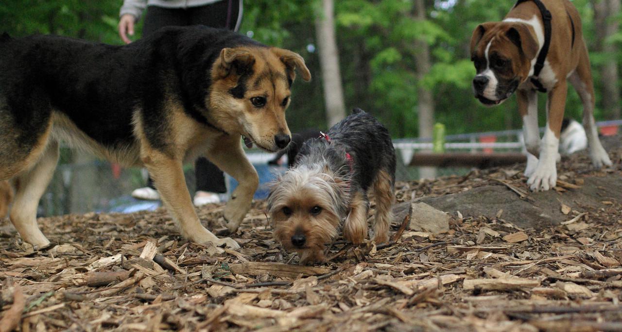 BAILEY (pup, yorkie), maddie , ruby