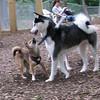 FOXI & MAX (husky)